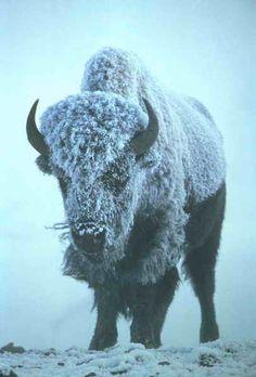 Bison.  Curious, bold, surprising.