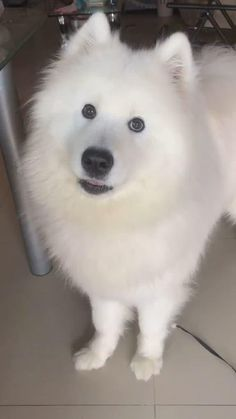 Cute Baby Dogs, Cute Dogs And Puppies, Cute Babies, Happy Animals, Cute Funny Animals, Funny Dogs, Japanese Spitz Dog, Yorkie Poodle, Samoyed Dogs