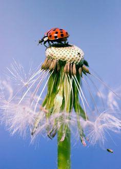 'Marienkäfer Pusteblume - Ladybugs Dandelion' von Falko Follert Kunst Poster Shop bei artflakes.com als Poster oder Kunstdruck $16.63