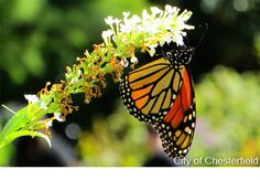 Monarch butterfly populations are now embarking on their annual migration north from their wintering habitat in Mexico.