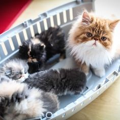 Cat Family - Don't Let The World Of Cats Confuse You. Read This Expert Advice Today! - Cat and Kittens Pretty Cats, Beautiful Cats, Animals Beautiful, Cute Animals, Cute Cats And Kittens, Cool Cats, Kittens Cutest, Crazy Cat Lady, Crazy Cats