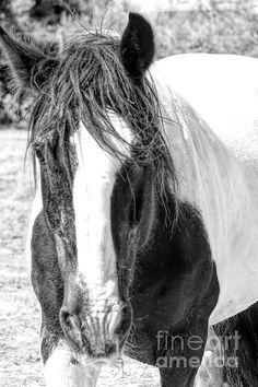 Gypsy Horse, Instagram Images, Horses, Black And White, Artist, Artwork, Animals, Work Of Art, Animales