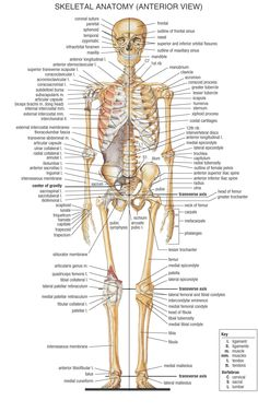 Human Body Diagram Of Bones and Muscles. New Human Body Diagram Of Bones and Muscles. Divisions Of the Skeletal System · Anatomy and Physiology Human Skeleton Anatomy, Human Body Anatomy, Human Anatomy And Physiology, Anatomy Of The Body, Muscle Chart Anatomy, Human Anatomy Picture, Human Anatomy Chart, Medical Coding, Medical Science
