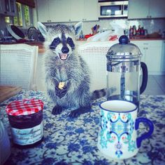 Pumpkin the raccoon - Pumpkin the raccoon is just your average dog - Pictures - CBS News