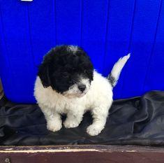 Maltipoo Puppies For Sale Phoenix Az Maltipoo Puppy Maltipoo