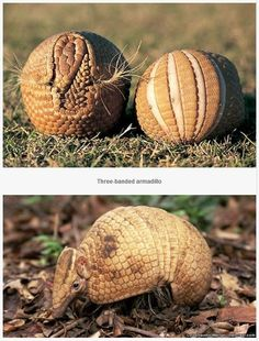 New World placental mammals. The three-banded armadillo can roll up into a tight ball.