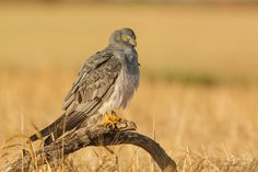 https://flic.kr/p/AzcqGy | Grey wings | jcfajardophotography.com/  Aguilucho cenizo, Montagu's harrier, Circus pygargus  Fotos hechas desde hide fijo  Photos taken from a fixed hide