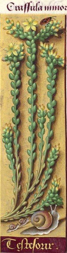 """Testesorix - Crassula minor (Sedum acre L. = orpin vermiculaire. """"Teste sorix"""" au lieu de """"tette de souris"""") -- Grandes Heures d'Anne de Bretagne, BNF, Ms Latin 9474, 1503-1508, f°150r"""