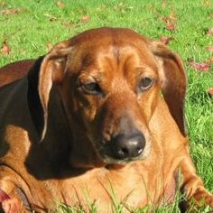 Advice on how to help your dog lose weight.  From Obie the famous Doxie who lost lots! http://www.everyonelovesadachshund.com/blog/weight-loss-tips-from-a-world-famous-dieter.php