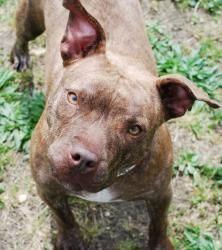Sugar - watch her video! is an adoptable American Staffordshire Terrier Dog in Vineland, NJ. South Jersey- Young Caramel-Brindle Staffie 'Sugar' Extremely URGENT- All her puppies adopted- she needs a ...