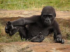 Junger Westlicher Flachlandgorilla / Young Western Lowland Gorilla (Gorilla gorilla gorilla)
