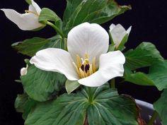 Trillium camschatcense Nemuro
