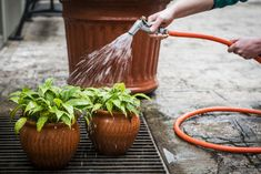Foto Leticia Akemi/ Gazeta do Povo Watering Can, Canning, Gota, Brushing, Small Gardens, Landscaping, Bath, Gardening, Garden