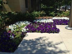 This sidewalk flower garden is placed perfectly in a commons area.  The petunias are very happy here.