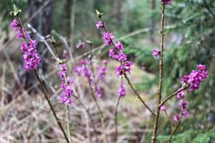 Spring Flowers in Finland ♥ Spring Flowers, Finland, Lifestyle, Plants, Flora, Plant, Planting