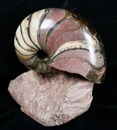 This is a rare Cenoceras nautilus from Belmont, France. It is 5 inches in diameter and is free-standing on a sculpted block of matrix.
