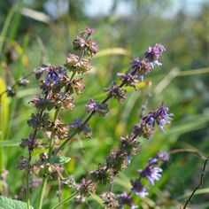 Salvia verticillata L. Seeds For Sale, Salvia, Nursery, Plants, Sage, Baby Room, Child Room, Plant, Babies Rooms