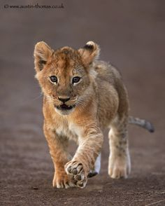 Lion cub - 'Big feet require big steps' by Austin Thomas on Lion Love, Cute Lion, Beautiful Cats, Animals Beautiful, Cute Baby Animals, Animals And Pets, Wild Animals, Big Cats, Cute Cats