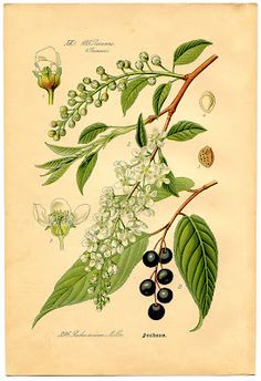 Click HERE for the Full Size Printable PDF This is the 3rd Botanical Print in a set of 8 that I am currently sharing each week! Shown on this one is a Flowering Branch known as Bird Cherry. It has pretty White Flowers and dark Berries. You can find the second one in this series …