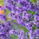 Lavandula Angustifolia 'Folgate', English Lavender 'Folgate', Lavender 'Folgate', Lavandula 'Folgate', Lavender plants, Lavender flowers, Lavender plant, Purple flowers, Drought tolerant plants, Deer resistant plants, fragrant flowers