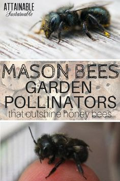 Organic Vegetable Gardening While honey bees are familiar to most of us, there are many other bee species that are great pollinators. Mason bees are great for the vegetable garden!