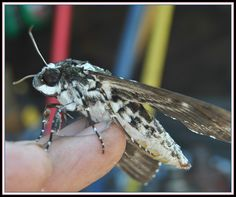 Say Hello to Mothy.:Rustic Sphinx moth - Manduca rustica   Rustic Sphinx moth found in Mississippi.....   OK this is a rustic Sphinx moth Here is a google link to more images  Thanks to Jennifer [www.flickr.com/photos/ammodramus88]   for the ID help Rustic Sphinx moth