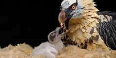 New step for the conservation of the Bearded Vulture in Europe Vulture, Bald Eagle, Animals, Goal, Bones, Zaragoza, Father, Animales, Animaux