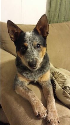 ( Blue heeler) Australian cattle dog