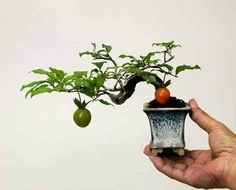 The upright styles in bonsai are one of the most popular and easy styles for beginners. Learn all about the two main upright styles in bonsai growing. Bonsai Fruit Tree, Bonsai Plants, Bonsai Garden, Garden Trees, Mame Bonsai, Ikebana, Mini Plantas, Succulent Bonsai, Plantas Bonsai