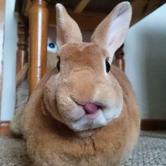 Happy #toungueouttuesday #ilovemybunny #housebunny #houserabbit #minions #minirexrabbit #minirex #bunniesworldwide #bunniesofig #bunnies #bunniesofinstagram #rabbitlover #rabbitsofinstagram #rabbit #rabbits #rabbitstagram #rabbitsofig #bunnyears #bunny #bunnystagram #bunnylove #bunnylife #petsofig #petsofinstagram #pet #pets #petsagram by _justin_bunny_