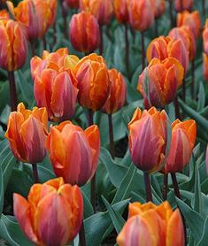 Tulips are the most beloved flowers in the spring garden. Tulips are also excellent cut flowers. Tulips Garden, Garden Bulbs, Planting Bulbs, Planting Flowers, Autumn Garden, Spring Garden, Irene, Bulbous Plants, Tulip Bulbs