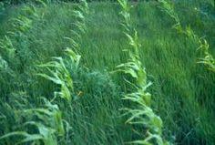 super weeds in corn