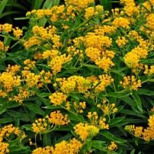 Companion Gardening Asclepias tuberosa 'Hello Yellow' - The sunny yellow flower clusters of 'Hello Yellow' look smart in the mixed border but will just as happily go native in your meadow among the butterflies. Yellow Perennials, Hardy Perennials, Mixed Border, Butterfly Weed, Butterflies, Monarch Butterfly, Companion Gardening, White Flower Farm, Growing Tomatoes In Containers