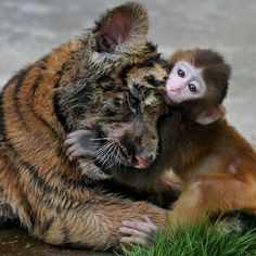 Tiger and monkey