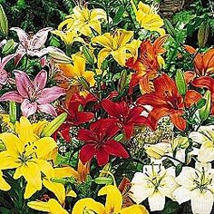 Field of Easter Lilies | Found on gurneys.com