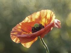 Andrea Potratz: Mohnblüte - Glasbild 60 x 80 cm
