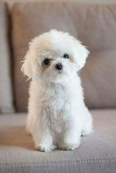 868 Best Fluffy Small White Dogs Images In 2019 Cute Baby Dogs