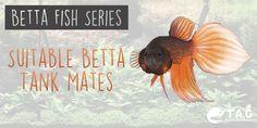 Betta Fish Series - Suitable Betta Tank Mates
