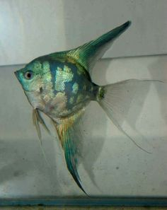 44 Types of Angelfish Color Variations - pokmnwasx Tropical Freshwater Fish, Tropical Fish Tanks, Freshwater Aquarium Fish, Best Surfboards, Bird Cage Centerpiece, Fish Wallpaper, Aquarium Design, Paludarium, Angel Fish