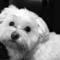 The most loved baby in our house, Sir Jasper Madigan Shelton, our Maltese.
