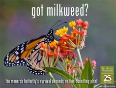 Google+ I've bought some milkweed seeds. Apparently Monarch Butterflies need two type of milkweed plants.  A milkweed plant to lay their eggs on & another type of milkweed plant that they eat. I bought both types.   Hope it helps...