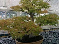Bonsai tree in Kew Garden.
