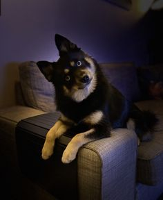 Pomsky, Cool Pets, Cats, Animals, Pomsky Dog, Gatos, Animales, Animaux, Animal