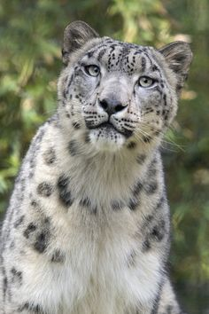 Although the cats freely cross the international boundaries of 12 countries, their secretive behavior and remote habitat among the highest mountains in the world add to their mystery. Because of their shy behavior and uncanny, almost mystical ability to disappear among the rocks, snow leopards have entered the folklore of local peoples in many countries and have been described as shape-changing mountain spirits.