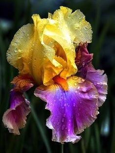 Lily Bearded Iris, also called the Poorman's Orchid. I love them.