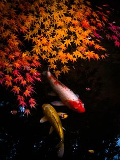 Nishiki-Koi(colored carp), Tenjuan, a sub-temple of Nanzen-ji, Kyoto, Japan