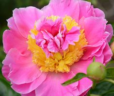 Song Sparrow Farm and Nursery--Peonies/Paeonia--'Lois E. Trees And Shrubs, Trees To Plant, Outdoor Flowers, Cactus Y Suculentas, Container Flowers, Day Lilies, Flower Pictures, Clematis, Spring Flowers