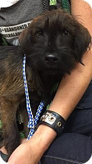 Ft. Lauderdale, FL - Terrier (Unknown Type, Small) Mix. Meet Pippy, a puppy for adoption. http://www.adoptapet.com/pet/16867590-ft-lauderdale-florida-terrier-unknown-type-small-mix