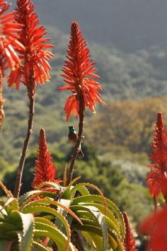 Aloes and a Lesser Double collared sunbird, Kirstenbosch National Botanical Garden in South Africa