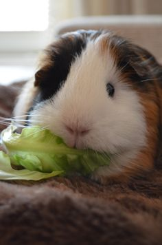 This is exactly what my guinea pig looked like!